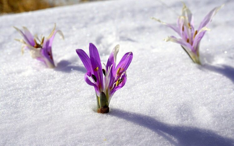 A purple iris peeping through the snow.