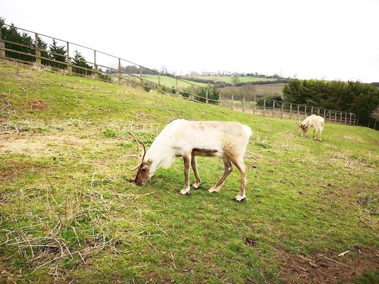 Lee Valley Park Farms Review - Reindeer