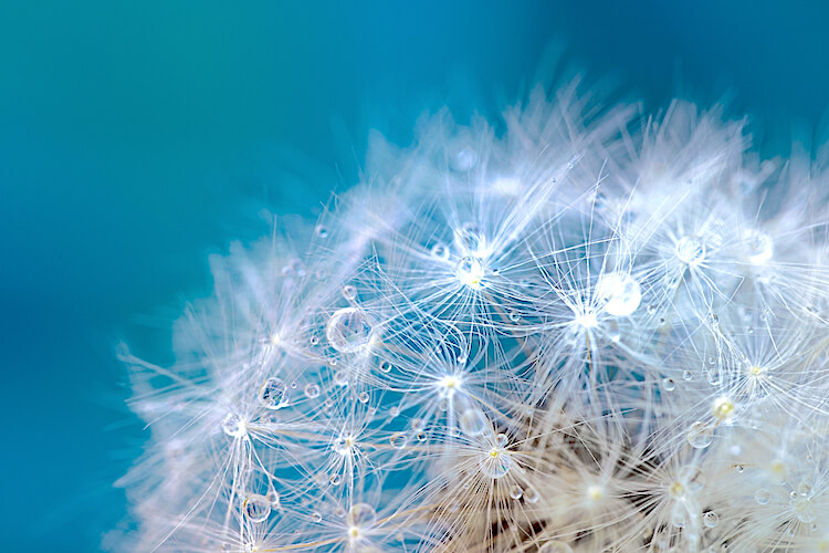 Positive affirmations for women   Image shows the close-up of a dandelion.